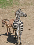 Young and Mother Zebra Standing Royalty Free Stock Photography