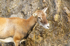 Young mouflon Royalty Free Stock Image
