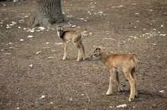 Young mouflon looking Royalty Free Stock Images