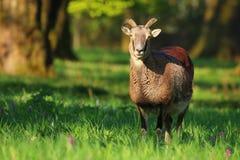 Young mouflon male Stock Images