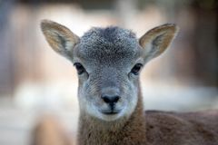 Young mouflon, ovis aries baby portrait. Stock Image