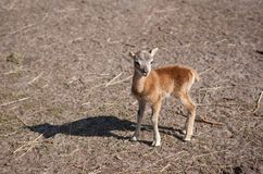 Young mouflon standing on the ground Stock Photo