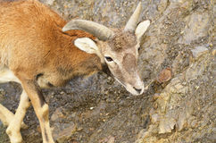 Young mouflon Stock Image