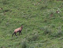 Young mountain CHAMOIS while grazing the meadow grass Stock Images