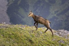 Young mountain chamois in the wild. Tatry. Poland. Young mountain chamois in the wild. Tatry. Poland stock images