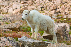 Young Mountain Goat Stock Photo