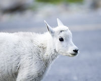 Young mountain goat. A Mountain Goat kid near Logan Pass in Glacier National Park Royalty Free Stock Photo
