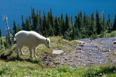 Young Mountain Goat on cliff Royalty Free Stock Photo