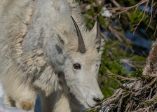 Young Mountain Goat Eyes Pine Branch for Snack Stock Photography