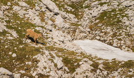 Young mountain goat Royalty Free Stock Photos