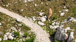 Young mountain goat feeding near trail Royalty Free Stock Images