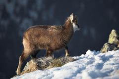 Young mountain goat in natural habitat Stock Photography