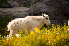 Young Mountain Goat by Rocks and Flowers Stock Photos