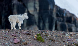 Young Mountain Goat Stands on Rocky Moraine Royalty Free Stock Images