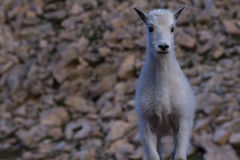 Young Mountain Goat Stock Photography