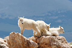 Young Mountain Goats Stock Images