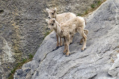Young Mountain Goats Stock Photos