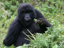 Young mountain gorilla Royalty Free Stock Photos