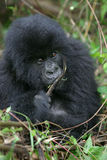 Young mountain gorilla Royalty Free Stock Photo