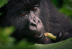 Young mountain gorilla Stock Images