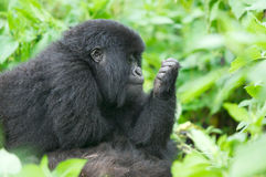 Young mountain gorilla royalty free stock photography