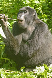 Young Mountain Gorilla Eating Stock Photo