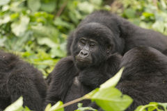 Young Mountain Gorilla in a family group. In Bwindi Impenetrable Forest royalty free stock image