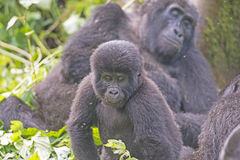 Young Mountain Gorilla in its Family Group in the Cloud Forest Stock Photography