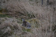 A young mountain hare. royalty free stock photo