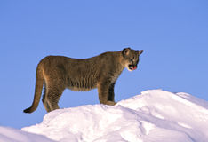 Young Mountain Lion Stock Image