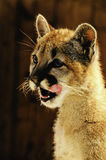 Young Mountain Lion Royalty Free Stock Photo