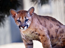 Young Mountain Lion Cougar Kitten Puma Concolor Royalty Free Stock Image