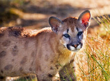 Young Mountain Lion Cougar Kitten Puma Concolor Royalty Free Stock Photography