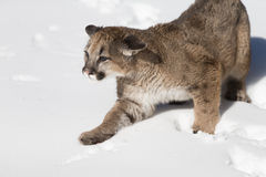 Young Mountain Lion in snow Stock Photo