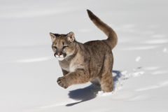 Young Mountain Lion in snow Stock Image