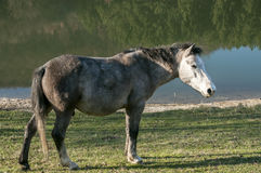 Young mountain packhorse. Grazing on meadow grass on sunny late autumn day Stock Photography