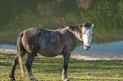 Young mountain packhorse. Grazing on meadow grass on sunny late autumn day Stock Photo