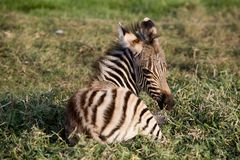 Young Mountain Zebra lying Stock Photos