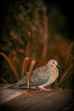 Young Mourning Dove Amid Autumn Foliage Stock Images