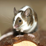 Young Mouse Stock Image