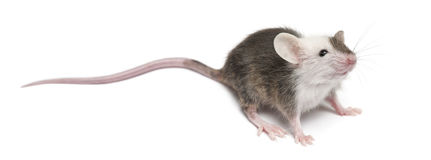 Young mouse Royalty Free Stock Images