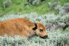 Young on the Move. A bison calf walking through a field Royalty Free Stock Photos