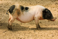 Young muddy piglet sleep standing on farm Royalty Free Stock Photography