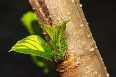 Young Mulberry fruit growing. On the tree Royalty Free Stock Photography