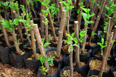 Young mulberry tree in organic farm for plantation Stock Photography