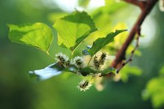 Young mulberry fruits on the tree. Young mulberry ts on the tree with green backgrounds stock photos