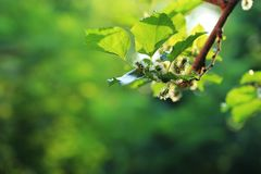Young mulberry fruits on the tree. Young mulberry ts on the tree with green backgrounds stock photography