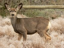 Young Mule Deer Stock Photography