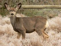 Young Mule Deer. At Fish Creek Park, Calgary, Alberta, Canada Stock Photography