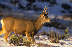 Young Mule Deer Buck Royalty Free Stock Photography